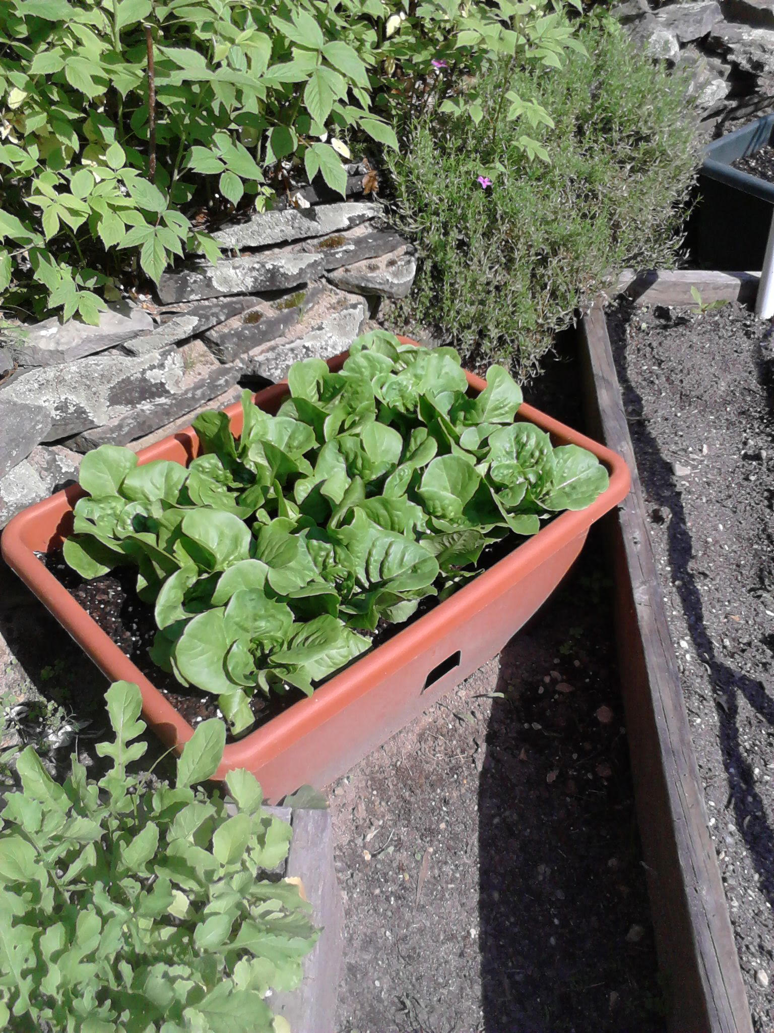 Bib lettuce in an outside container.