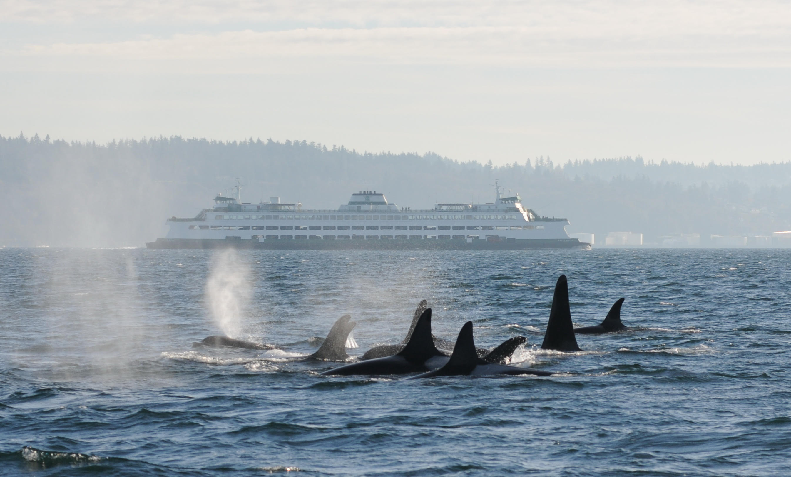 A pod of killer whales, an endangered species, swims near Seattle. By using eDNA from seawater samples, marine biologists can often detect rare species like the killer whale without seeing them. Credit: C. Emmons, NOAA Fisheries