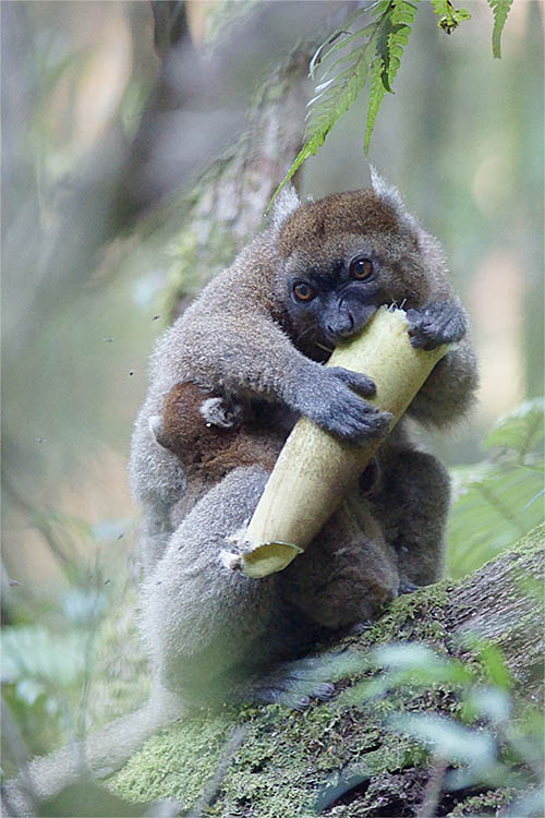 Greater Bamboo Lemure