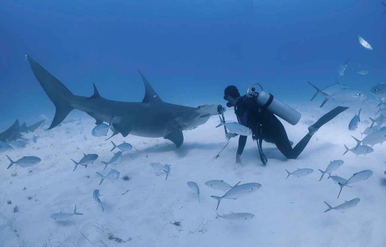 Diving with Hammerhead Shark