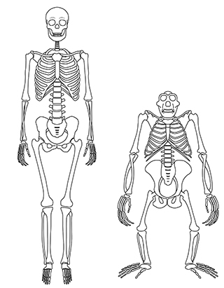 Chimpanzees shed light on origins of human walking stony brook the skeleton of a human left and chimpanzee right the wide ribcage and pelvis and short lower back in chimpanzees long thought to be rigid ccuart Gallery
