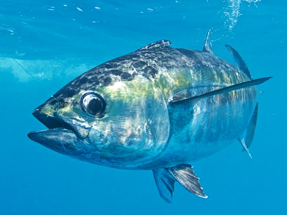 Declining Mercury Levels in Tuna Reflect Reduced Concentrations in Air and Seawater